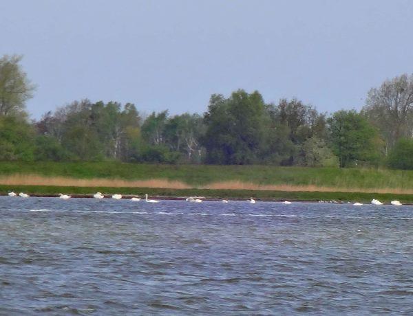 Stehende Schwäne direkt neben dem Fahrwasser im Barther Bodden